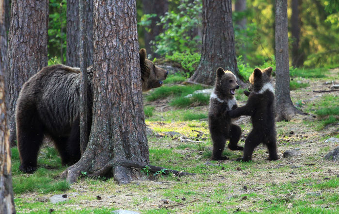 攝影師捕捉小熊在森林「圍一圈跳舞」網友萌翻:工讀生快出來!