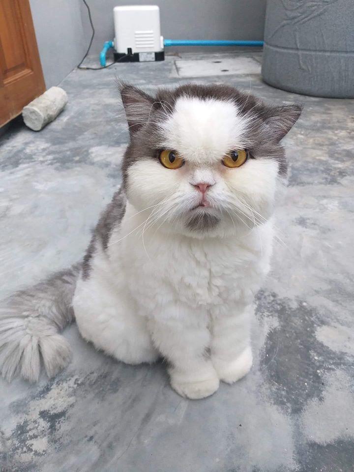 泰國「超不爽臭臉貓」紅到台灣 滿滿「嘴邊肉」就像愛生氣的可愛女友!