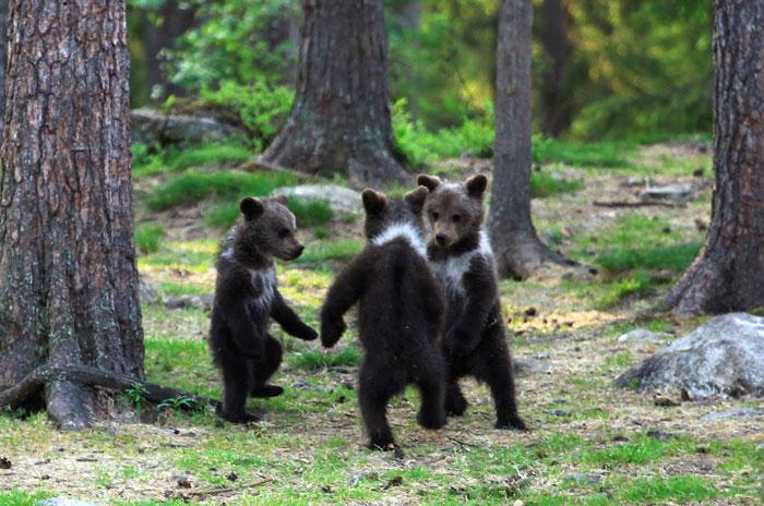 攝影師捕捉小熊在森林「圍一圈跳舞」 網友被萌翻:工讀生快出來!