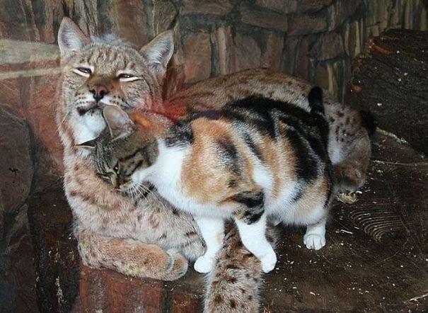 流浪貓誤闖動物園意外「跟山貓變好朋友」 館員:牠以為找到媽媽了!