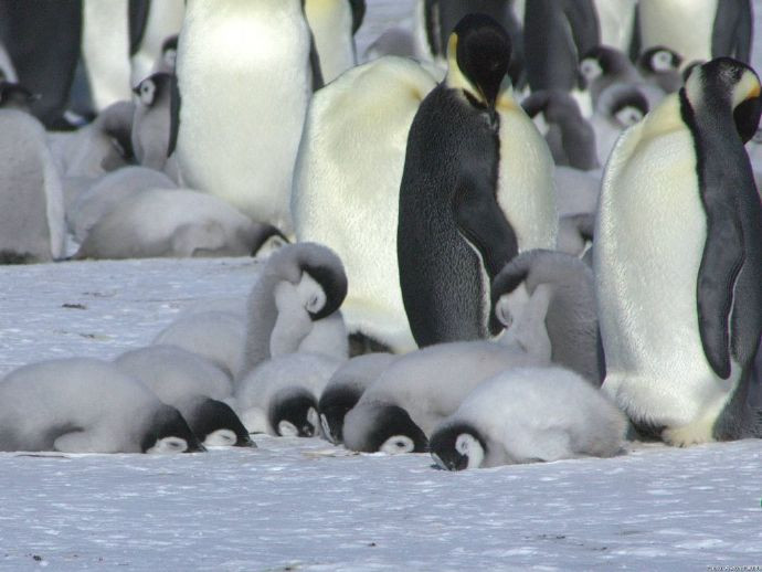 12張超可愛「企鵝寶寶睡覺照」站著睡到歪腰 無數少女尖叫:好想吸❤