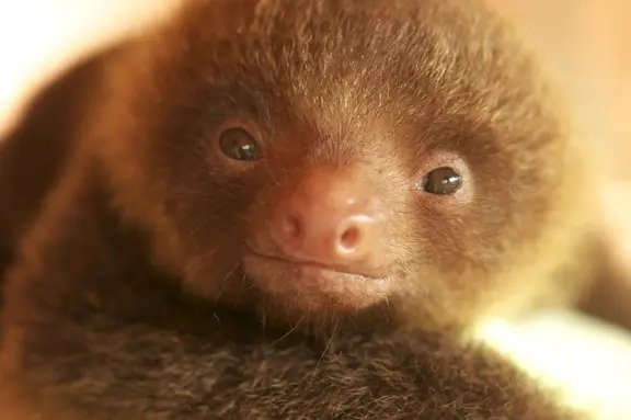 最慢速「樹懶小寶寶」特輯 天生「微笑臉」連發呆都超萌!