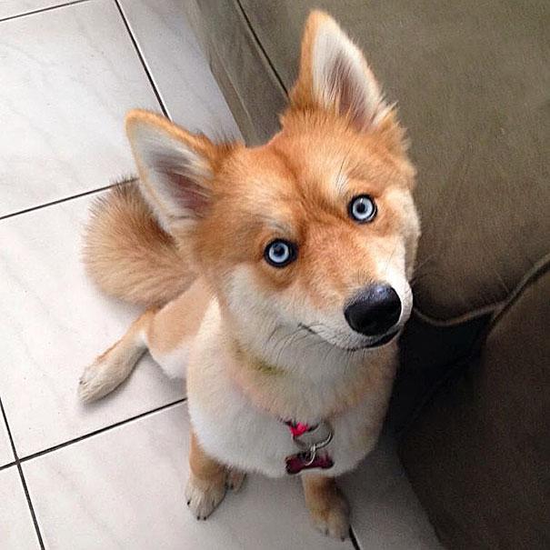 真正的狐狸犬!「博美+哈士奇混血」側面超像柴柴...正臉超殺
