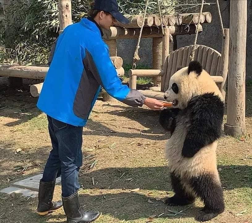 飼育員太晚餵飯...傲嬌系貓熊「生氣氣插腰」:誰准你遲到的!