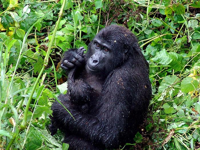大猩猩「合作拆解陷阱」動作超俐落 專家分析手法「是人類教的」狂搖頭!