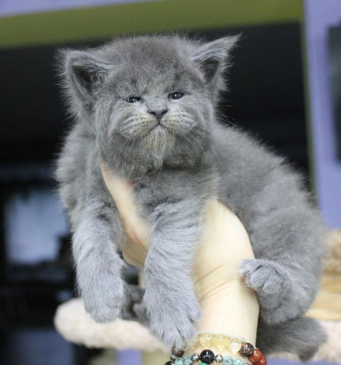 緬因奶貓有「厭世老人臉」反差超大 網友被萌壞:好像暴躁的阿公!