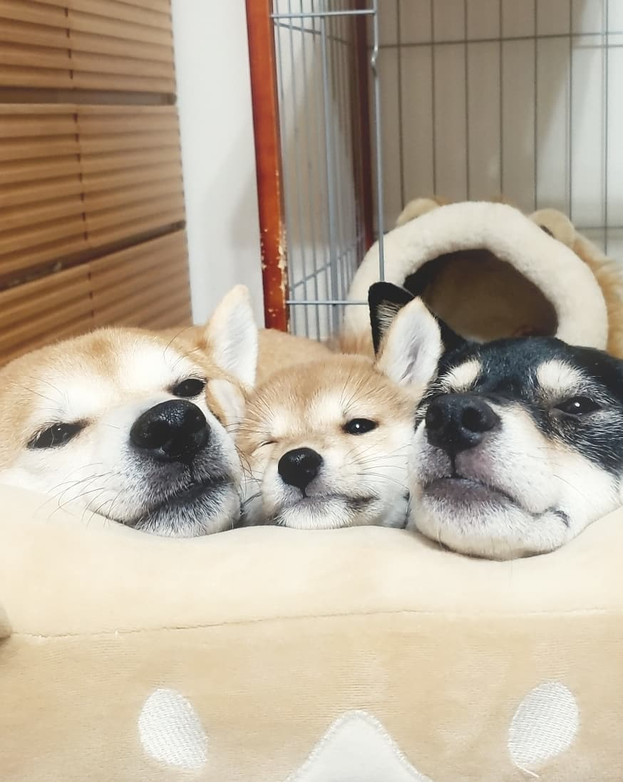 最愛開「一起睡覺派對」的日本柴 睡前「磨鼻子」療癒指數破表!