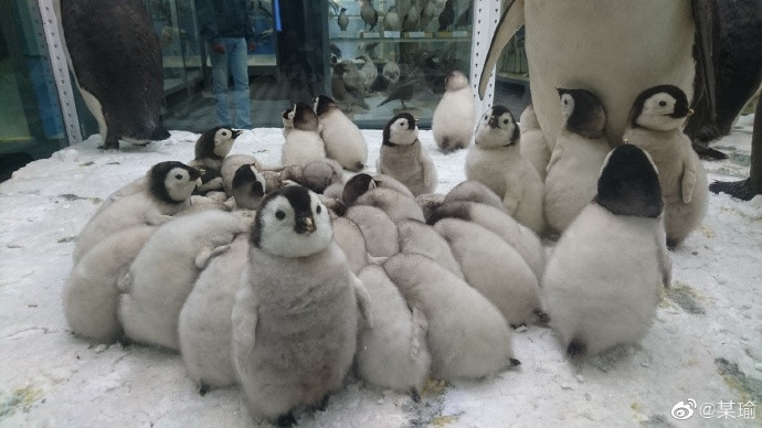 企鵝安親班!呆萌企鵝寶寶「擠成一團」畫面超可愛 網友檢舉:有一隻蹺課