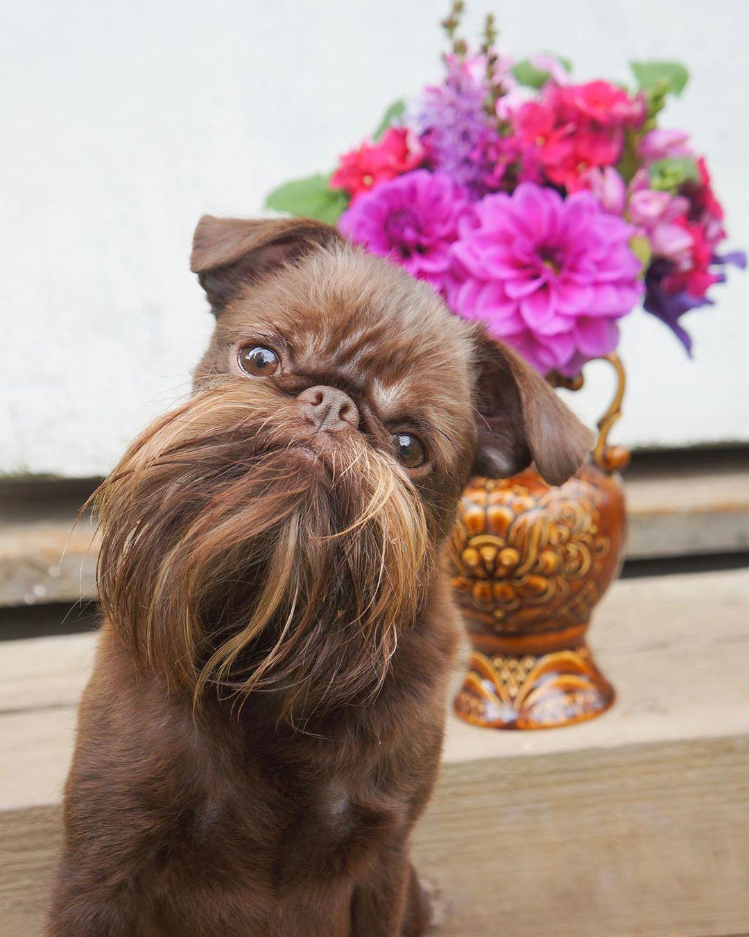 萌犬「撞臉丘巴卡」是星戰迷都愛 無辜眼配「大鬍子」反差萌超吸睛!
