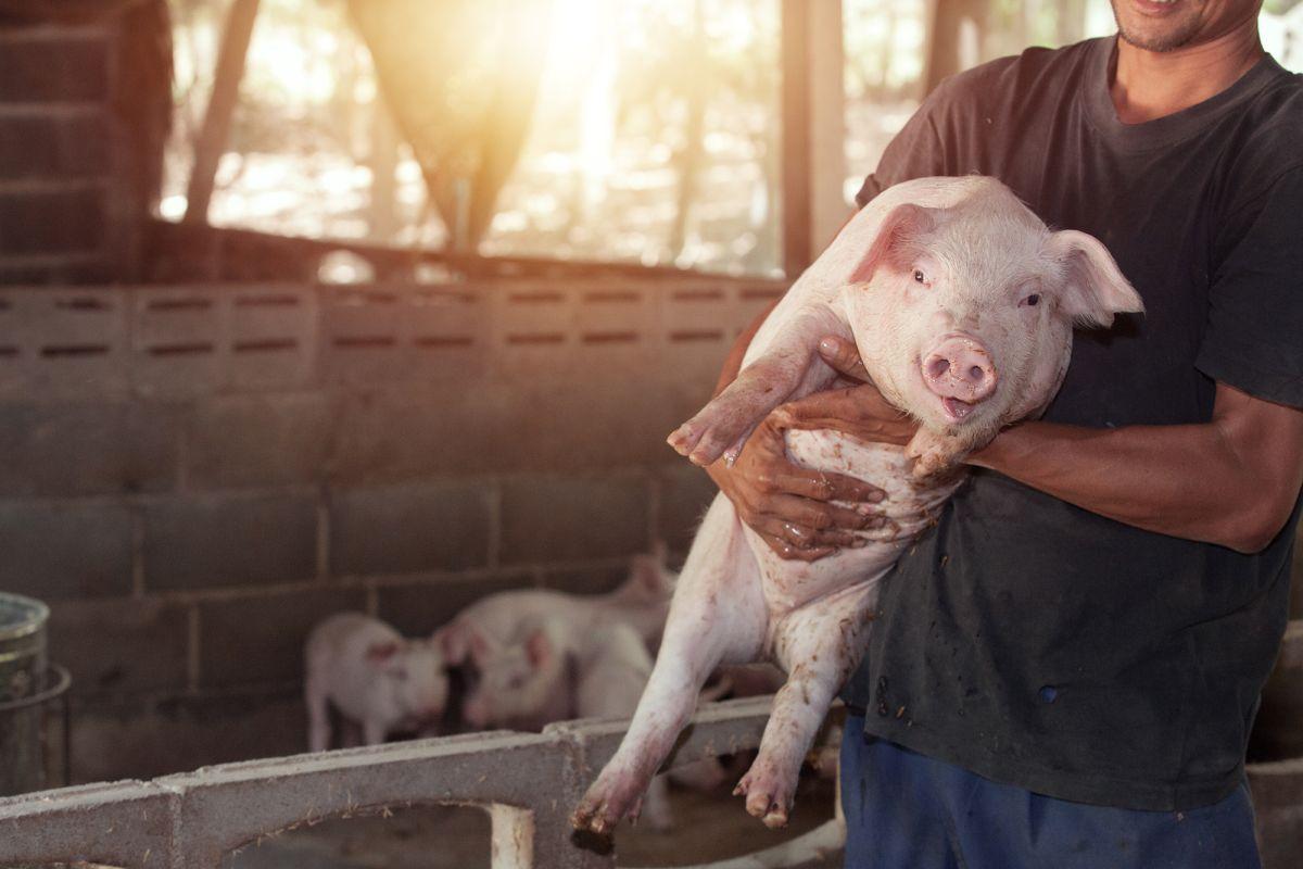 最夢幻職業?農場缺「小豬抱抱員」徵才中 「每週3小時」工作:幫豬豬揉肚肚