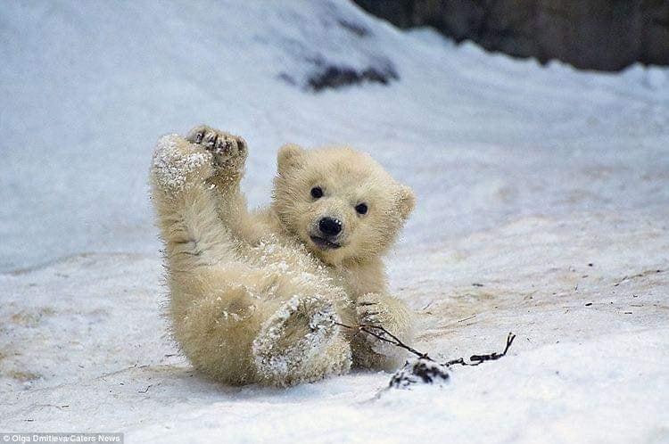 10張呆萌無極限的「北極熊寶寶」 3隻一起「賣萌疊疊樂」太犯規❤