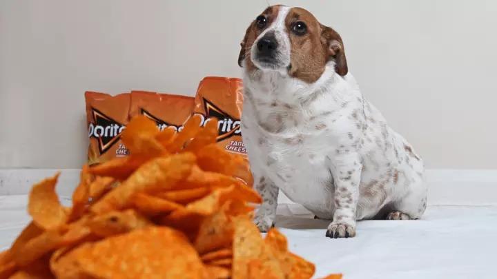 獵犬吃「10公斤多力多滋」胖成狗球 醫生警告:以後只能吃紅蘿蔔!
