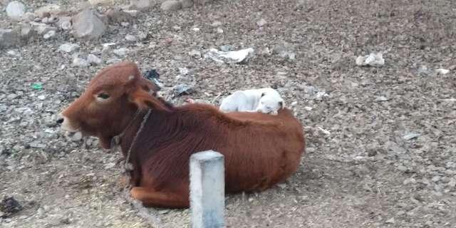 小白狗爽躺「母牛身上午睡」爆紅 她貼心「不敢動」畫面超有愛❤