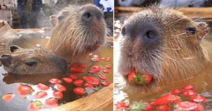 網友捕捉「水豚泡草莓浴」表情只有爽 網嘆:鼠輩過得比我好QQ