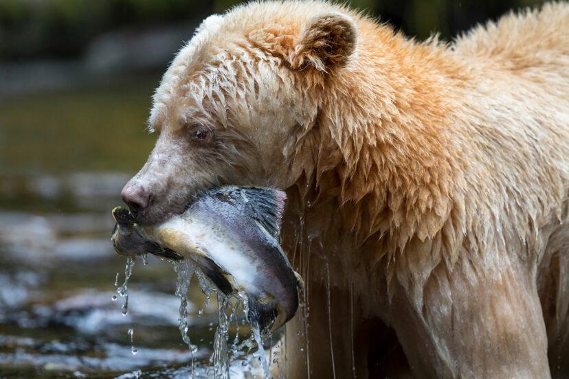 不是白化症!超稀有「白色黑熊」全球僅400隻 被譽為「冰河世代的證據」