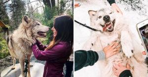 野狼園區開放「親密體驗」線上就能預約 兇猛野狼「翻肚討摸」超Q❤