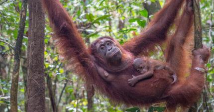 3歲目睹媽媽遇害「小猩猩花4年振作」 從「害怕嬰兒→堅強媽媽」換牠養下一代