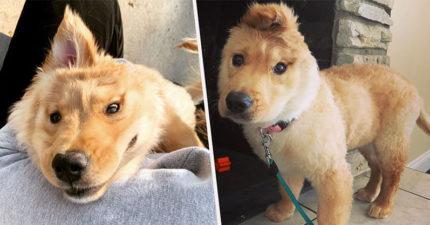只有一個耳朵的「獨角獸狗狗」 耳朵蓋下來秒變「帥氣貝克漢」❤