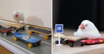 超可愛文鳥「其實是滑板天才」 斜坡一路狂溜「跳起來換板」牠也行!