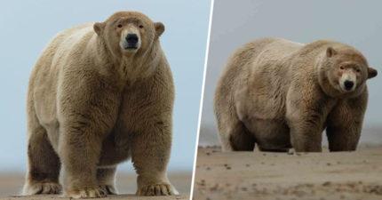北極熊「不停被餵食」體重破600公斤 居民「狂上貢」竟是在表達敬意!