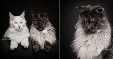 來自天堂的「緬因貓」沙龍照 獅子般「貴族王者風範」超霸氣!