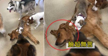 安全感不夠~小狗「硬要睡別人身上」萌翻大家 「習慣改不掉」其他狗超無奈!