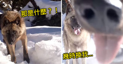 呆萌狼發現雪地「隱藏攝影機」下秒「鼻孔大放送」狂舔 同伴呆:有好料?