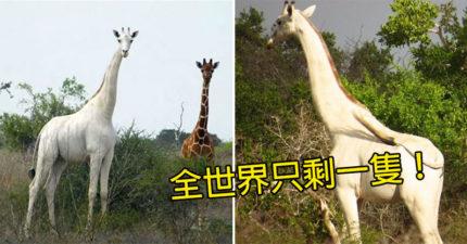盜獵者了結「白長頸鹿母子」隨意丟路邊 全球「只剩一隻」滅絕倒數中!