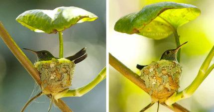 蜂鳥拿「一片樹葉」當屋頂築巢 超唯美構造「只有硬幣大」美到像童話!