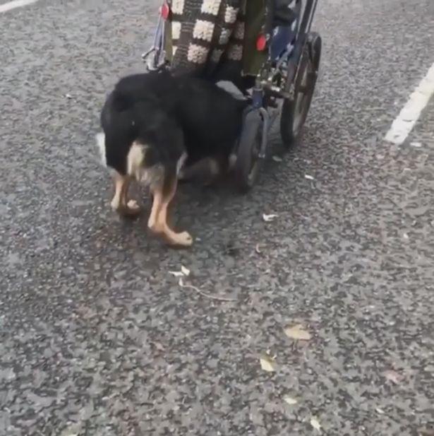 影/狗狗幫爺爺「推輪椅」感人畫面瘋傳 網想捐款被婉拒:我只接受牠的幫助!