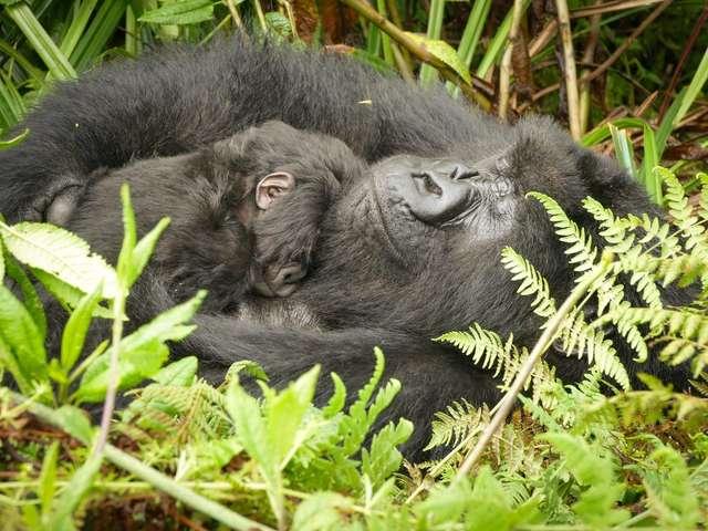 黑猩猩「熱心當保姆」幫照顧「其他母猩的寶寶」 專家分析:牠在拯救同類!
