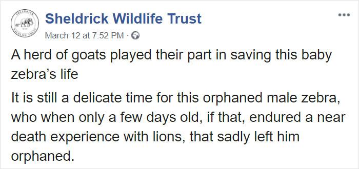 養育員穿「特製斑馬裝」照顧孤兒小斑馬 認錯「媽媽」牠才能生存