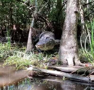 在保護區巧遇「夭壽大鱷魚」差點被當午餐...「至少3公尺」根本是恐龍!