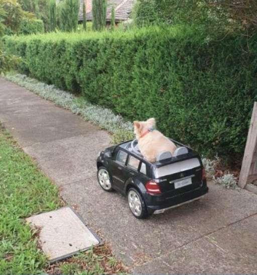 萌狗「開跑車趴趴走」把交警嚇壞 盤查後「反被支持」:快點繼續開!