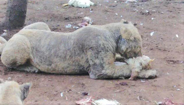 108頭獅子遭圈養「皮膚爛光」變無毛貓 30隻「硬塞2隻空間」罰金超可悲