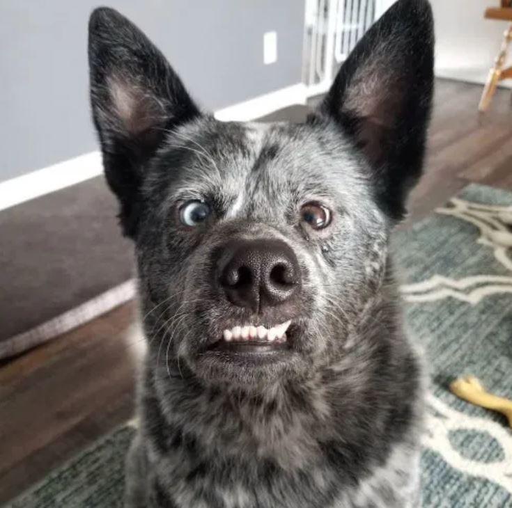 世界最快樂狗!可愛汪儘管「失去部分大腦」還是「每天微笑」❤