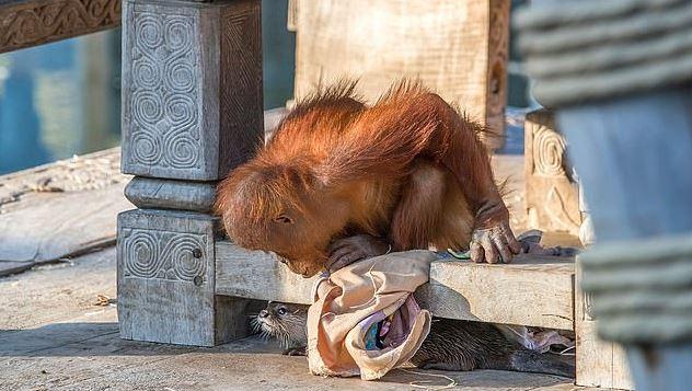 動物園把「水獺跟猩猩一起養」居然變好朋友 還一起玩捉迷藏!