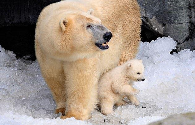 北極熊媽媽「餓到吃寶寶」震驚全球 科學家無奈:暖化融冰太嚴重!