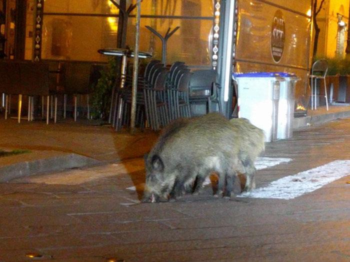 人類不敢出門「動物終於奪回領土」  義大利「剩豬敢上街」找食物