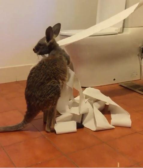 袋鼠寶寶廁所尋寶「發現神秘白色捲筒」決定占為己有!網:還以為是貓XD