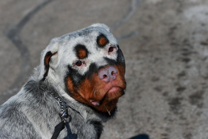 26隻「被上帝奪走顏色」的白癜風毛孩 狗狗「天生戴眼罩」超可愛!