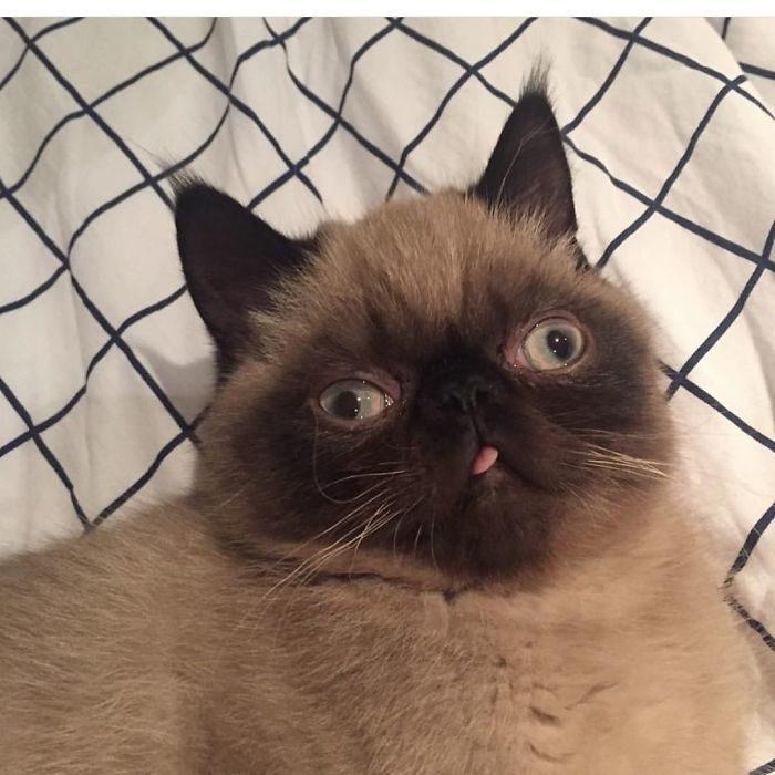 小屁孩貓「超愛吐舌」奴才嚇壞送醫檢查 獸醫無奈:牠只是很愛這樣而已!