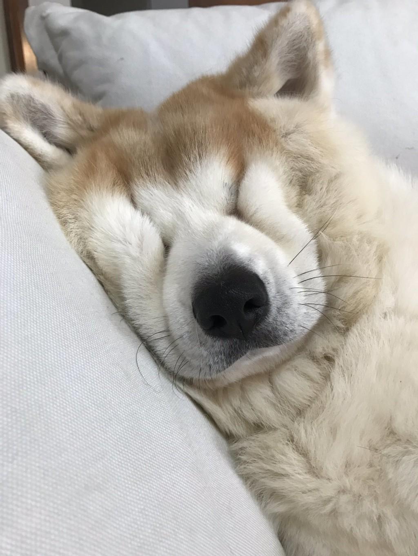 霸氣秋田犬睡著後「臉被擠成〉〈」 眼睛全被「肉海淹沒」太可愛❤