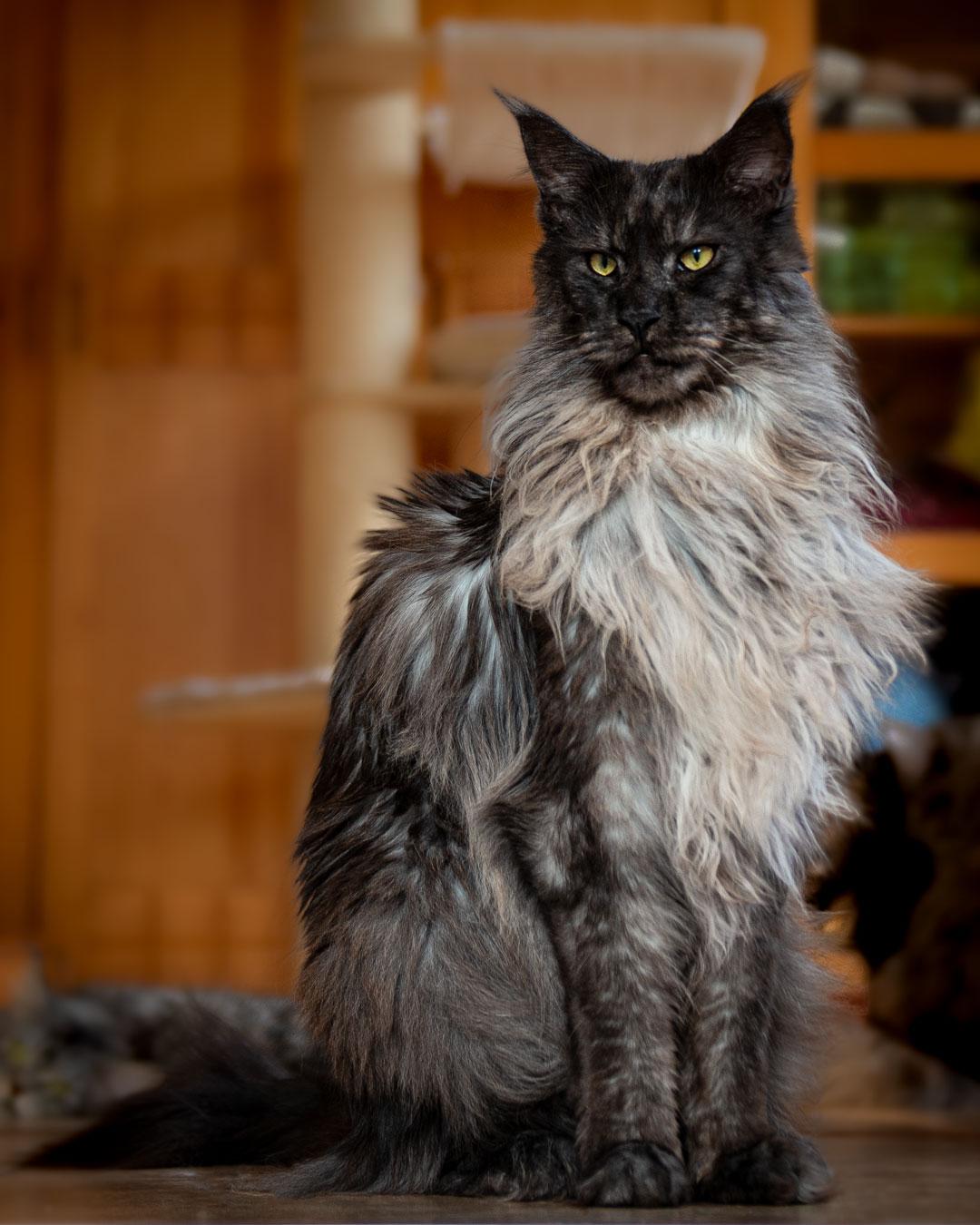 天堂級美貌緬因貓「獅子般氣場」 眼神「貴族王者風範」霸氣外露!