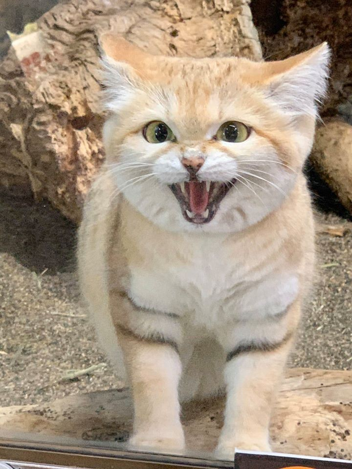 人稱「沙漠小天使」的軟萌貓咪 身長只有「50公分」但你絕對惹不起!