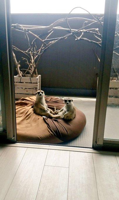 寵物狐獴「大叔式放風」被主人抓包 聽到開門聲「秒回頭」:你回來囉?