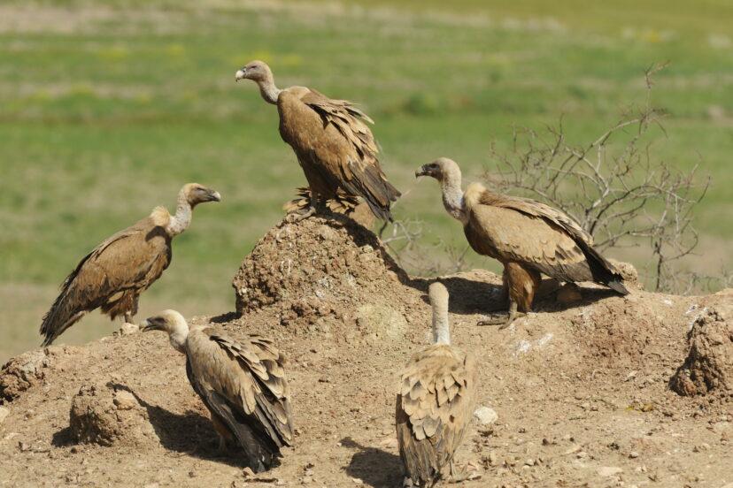 非洲「上千隻禿鷹」離奇死亡!世界各地「都有案例」專家警告:牠們可能會絕種