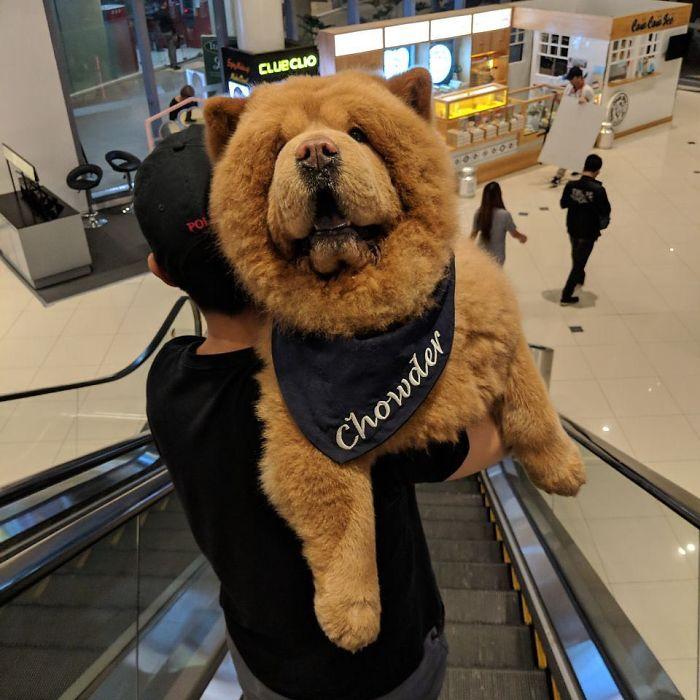 鬆獅犬「撞臉泰迪熊」網路爆紅 小時候「臉還沒皺在一起」萌度更破表❤