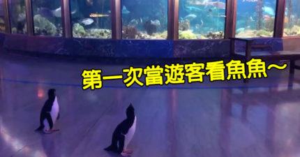 影/水族館因疫情關閉首度「讓企鵝當遊客」 新奇觀賞「魚同事」太可愛啦❤