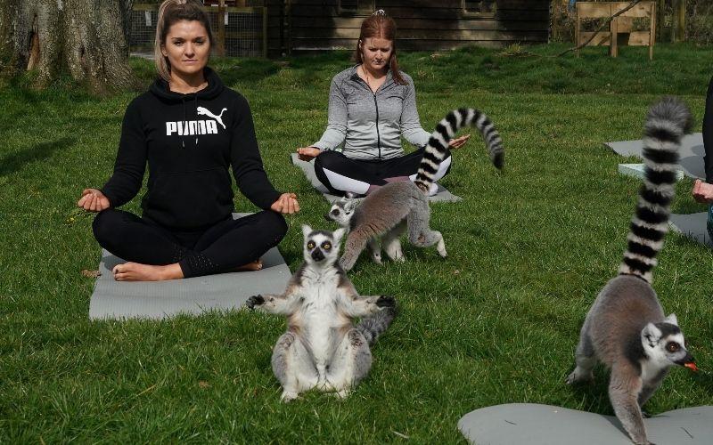 國外飯店推出「跟狐猴做瑜伽」活動 毛孩「挑戰高難度動作」畫面超萌!